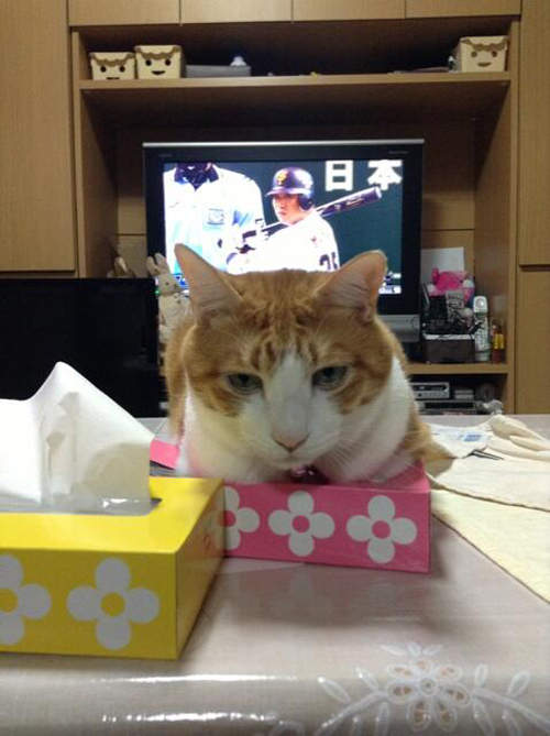 大型的猫科动物也很爱箱子xddd